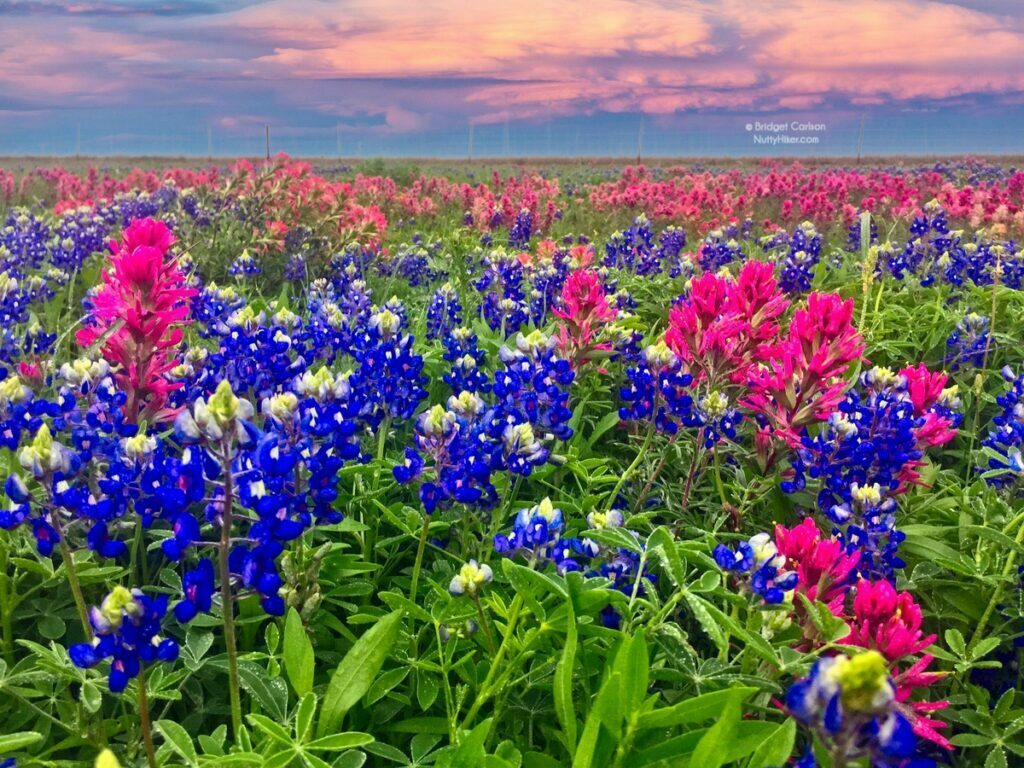 Where to Get Your Central Texas Bluebonnet Fix
