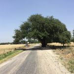 San Saba Wedding Oak Tree