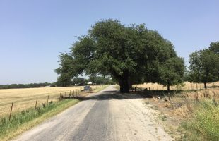 San Saba Wedding Oak Tree