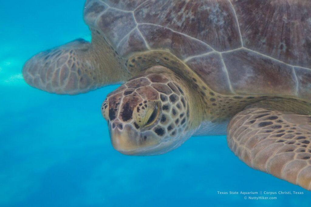 Sea Turtle at Texas State Aquarium